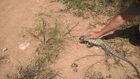 Pelotão Ambiental efetua a captura de dois lagartos na área urbana de Camaquã