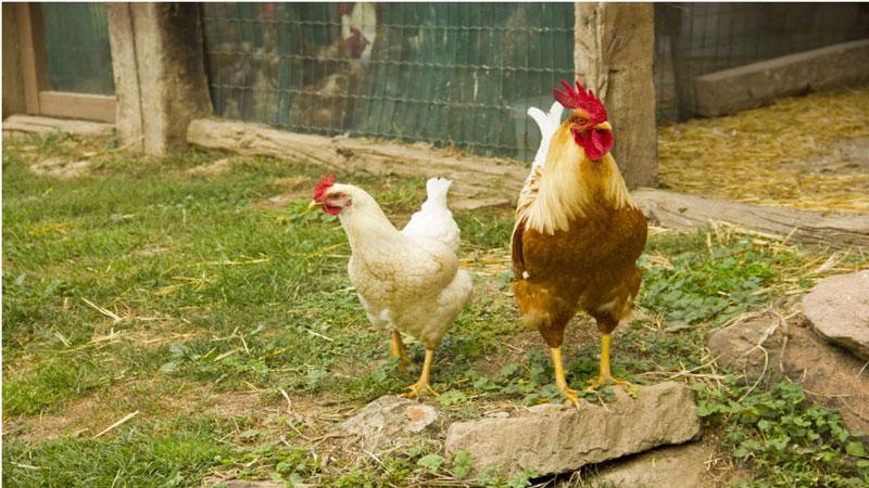 Alternativas na alimentação e manejo das aves é apresentada na Expoagro Afubra