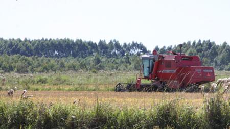 RS está perto de concluir a colheita do arroz