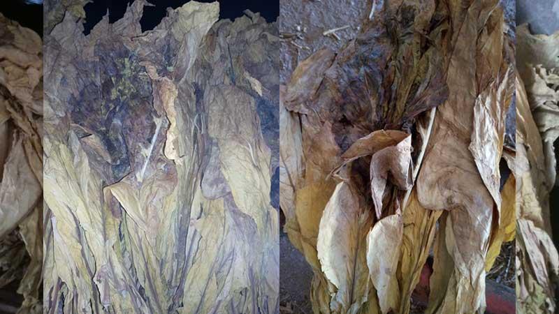 Fumicultores contabilizam os prejuízos pela falta de luz